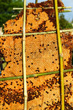 Abejas de trabajador en imagen de Honeycomb Fotografía de archivo libre de regalías