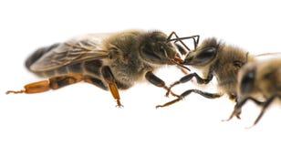Abejas de trabajador y el mellifera de los apis de la reina Foto de archivo