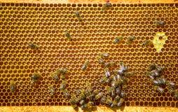 Abejas de trabajo en concepto del trabajo de Honeycomb Foto de archivo