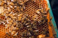 Abejas de trabajo en el panal amarillo con la miel dulce Foto de archivo