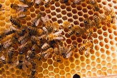 Abejas de trabajo en el panal amarillo con la miel dulce Imagen de archivo libre de regalías
