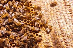 Abejas de trabajo en el panal amarillo con la miel dulce Fotografía de archivo