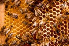 Abejas de trabajo en el panal amarillo con la miel dulce Imágenes de archivo libres de regalías