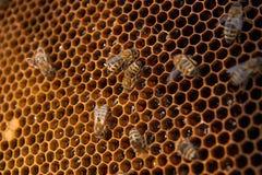Abejas de trabajo en el panal amarillo con la miel dulce Fotos de archivo