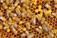 Abejas de trabajo en honeycells Fotos de archivo