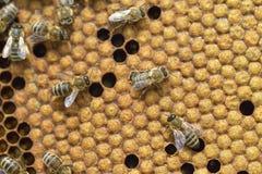 Abejas de trabajo en honeycells Fotografía de archivo libre de regalías