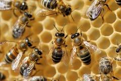 Abejas de trabajo en honeycells Imagen de archivo