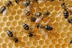 Abejas de trabajo en honeycells Fotografía de archivo