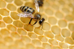 Abejas de trabajo en honeycells Imágenes de archivo libres de regalías