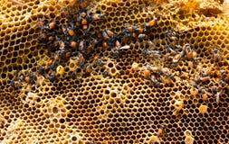 Abejas de trabajo en las células de la miel Fotografía de archivo libre de regalías