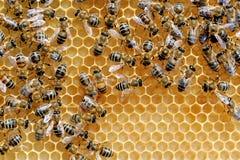 Abejas de trabajo en las células de la miel Imagen de archivo