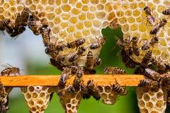 Abejas de trabajo en las células de la miel Imagen de archivo libre de regalías