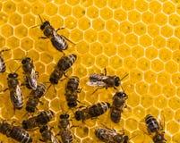 Abejas de trabajo en las células de la miel Imágenes de archivo libres de regalías