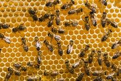 Abejas de trabajo en las células de la miel Fotografía de archivo