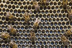Abejas de trabajo en las células de la miel Imagenes de archivo
