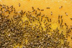 Abejas de trabajo en las células de la miel Foto de archivo