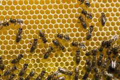 Abejas de trabajo en las células de la miel Fotos de archivo libres de regalías