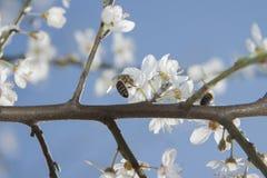Abejas de Twoo en Cherry Flowers salvaje Fotografía de archivo libre de regalías