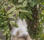 Abejas del enjambre - el pulular de las abejas del mellifera de los apis Imagen de archivo libre de regalías