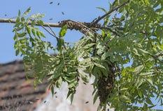Abejas del enjambre - el pulular de las abejas del mellifera de los apis Foto de archivo libre de regalías