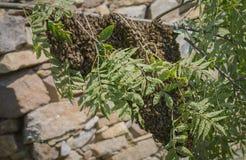 Abejas del enjambre - el pulular de las abejas del mellifera de los apis Imágenes de archivo libres de regalías