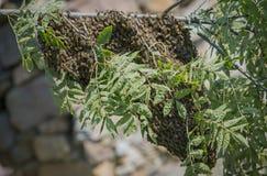 Abejas del enjambre - el pulular de las abejas del mellifera de los apis Fotografía de archivo