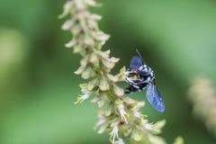 abejas del Hoja-corte en fondo de la naturaleza Imagenes de archivo