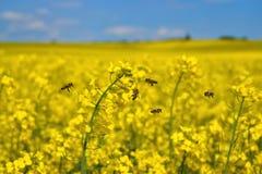 Abejas del mellifera de los Apis de las abejas en vuelo en el campo de la violación Foto de archivo libre de regalías