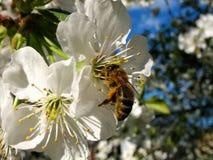 Abejas del tiempo de primavera con las flores Foto de archivo