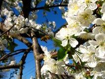Abejas del tiempo de primavera con las flores Imagen de archivo