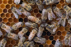 Abejas del trabajador en el marco del polen Foto de archivo