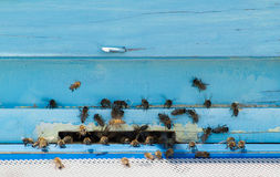 Abejas del vuelo que entran en la colmena de la abeja Imagenes de archivo