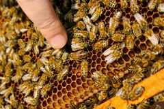 Abejas dentro de una colmena con la abeja reina en el centro Fotografía de archivo