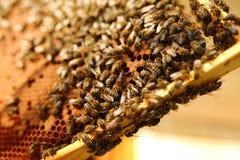 Abejas dentro de una colmena con la abeja reina en el centro Fotografía de archivo libre de regalías