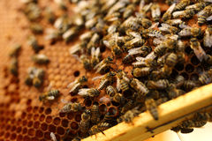 Abejas dentro de una colmena con la abeja reina en el centro Foto de archivo