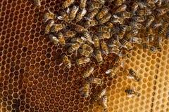 Abejas dentro de una colmena con la abeja reina en el centro Fotos de archivo libres de regalías