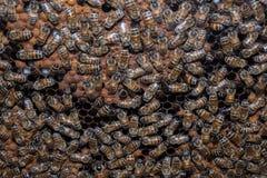 Abejas dentro del cierre de la macro de la colmena para arriba Imagen de archivo libre de regalías
