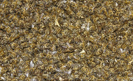 Abejas - destructor de Varroa de la enfermedad Foto de archivo libre de regalías