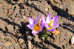 Abejas en azafranes púrpuras Imagen de archivo libre de regalías