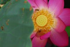 Abejas en base de la flor Fotos de archivo libres de regalías