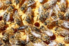 Abejas en el concepto del primer de los panales de apicultura Imagen de archivo libre de regalías