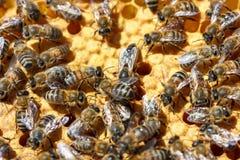 Abejas en el concepto del primer de los panales de apicultura Foto de archivo