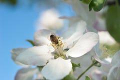 Abejas en el flor de la manzana Fotos de archivo