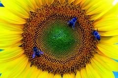 Abejas en el girasol Imagen de archivo libre de regalías