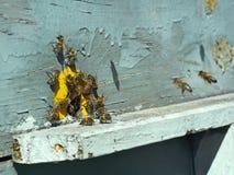 Abejas en el golpecito-agujero de la colmena Fotos de archivo libres de regalías