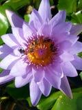 abejas en el loto del lirio de agua Fotografía de archivo libre de regalías