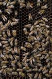 Abejas en el panal con el útero de la abeja Imagenes de archivo