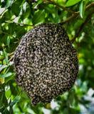 Abejas en el panal, insecto en naturaleza Fotografía de archivo libre de regalías