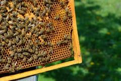 Abejas en el panal Larvas de la abeja Apicultura Fotografía de archivo