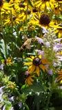 Abejas en el polen Foto de archivo